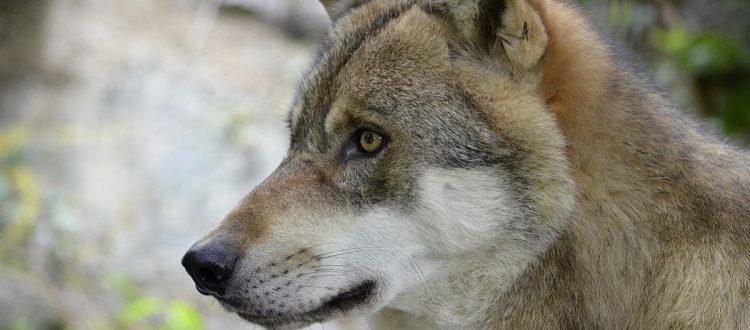 ilustração lobo